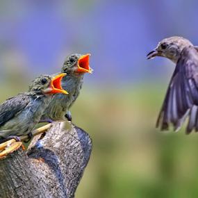 Dicaeum trochileum by Husada Loy - Animals Birds