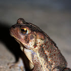 Southern Toad (?)