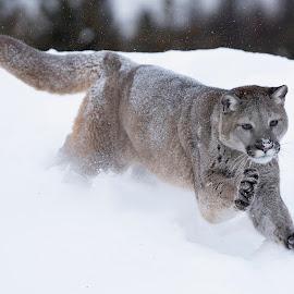 Mt Lion by Jack Nevitt - Animals Lions, Tigers & Big Cats ( running, snow, winter, mountain lion, cougar, puma )