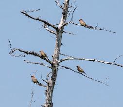 Photo: Cedar Waxwings, Bidgoods Park