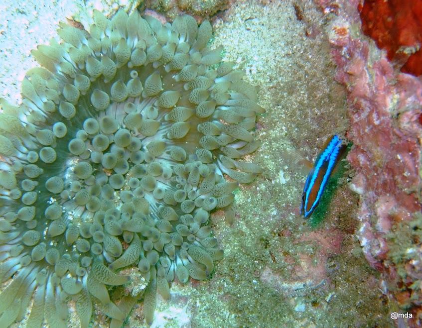Dofleinia armata (Sea anemone)