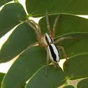 Bilineata Ground Spider