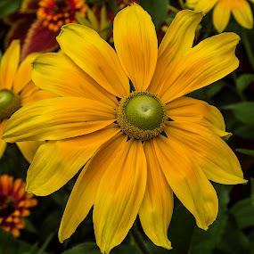 yellow coneflower #1 by Frank Barnitz - Flowers Single Flower ( coneflower, yellow, flower )