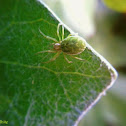 Green leaf web spider