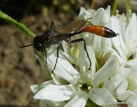 Photo: Thread-waisted digger wasp (Ammophila sp.) on white brodiaea (Triteleia hyacinthina), Wizard Falls on the Metolius River, Camp Sherman, OR