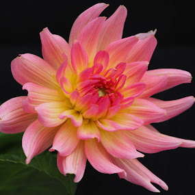 Pink Diva by Gillian James - Flowers Single Flower ( pink, yellow, close up, dahlia, flower )