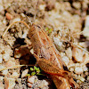 Balkan Pincer Grasshopper