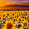 Field of sunflowers on the sunset.jpg