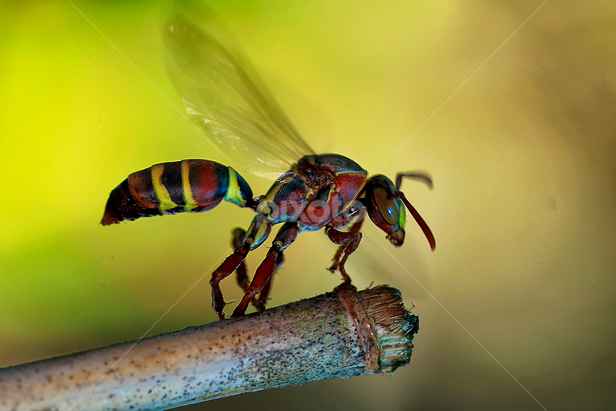 Ready To Fly by Bobby Worotikan - Animals Insects & Spiders ( jacket, macro, fly, yellow, insect )