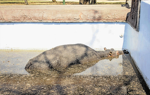 A young hippo bull, Solly, trapped in a swimming pool on a game farm near Modimolle, in Limpopo.