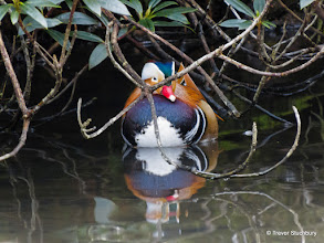 Photo: Mandarin Duck, Johnston Gardens, Aberdeen