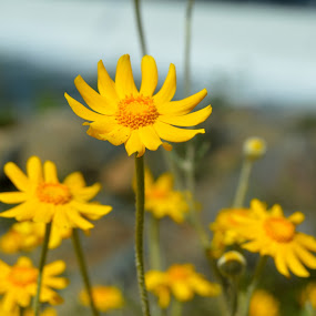 Yellow by the water by Nikki Kean - Flowers Flowers in the Wild ( wild flower, macro, nature, yellow, flowers, flower,  )