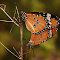 butterflies mating1.jpg