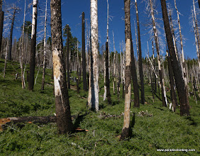 Photo: High-severity burn, with active Black-backed Woodpecker nest tree in center (lightest tree)