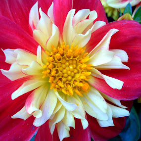 Yellow/ red flower by Peggy LaFlesh - Flowers Single Flower ( red, yellow, flower )