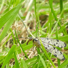 German scorpionfly