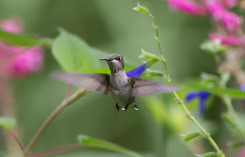 """Photo: A young male hummer often has a """"drop of blood"""" on the throat - not a shaving accident but the beginnings of the ruby """"gorget"""""""