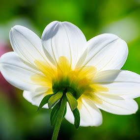 by Lee Jorgensen - Flowers Single Flower ( macro, botanical garden, close up, dahlia, flower,  )