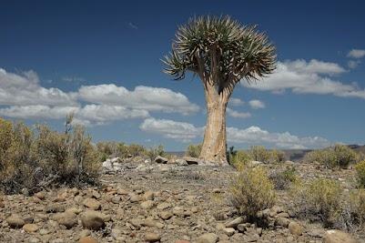 Köcherbaum in der Tankwa Karoo