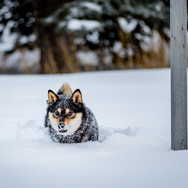 Snow Dog by Chad Roberts - Animals - Dogs Playing ( plow, play, snow, winter, run, dog )