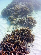 Photo: Square stinging coral, Millepora squarrosa in the Seaward Slope