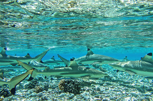 lindblad-south-pacific-reef-sharks.jpg - Observe blacktip reef sharks — they're timid around people — on a Lindblad Expeditions voyage to the South Pacific.