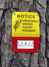Photo: Jones State Forest, near Conroe, Texas, home to the Red-cockaded Woodpecker