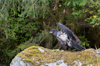 Photo: Juvenile bald eagles are mottled in colour, and get the white headfeathers after 2-3 years.