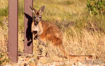 Photo: Kangaroo in Cape Range National Park, Exmouth, Western Australia