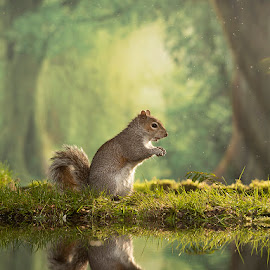 little grey by Paul Hudson - Animals Other Mammals ( squirrel, reflection, nature, woods, grey )