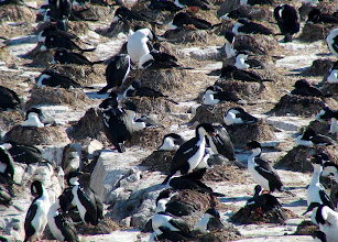 Photo: Imperial cormorant colony - Beagle Channel - pelagic trip out of Ushuaia, Tierra del Fuego, Argentina - Nov 24, 2010