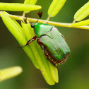 Green Flower Chafer Beetle