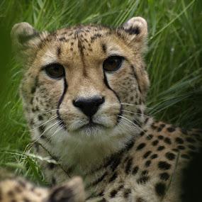 Eye contact by Steen Hovmand Lassen - Animals Lions, Tigers & Big Cats ( cheetah, africa, contact, close, eye,  )