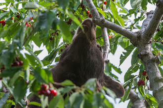 Photo: Bear going for cherries.