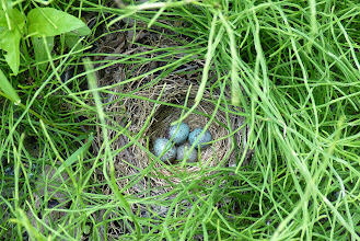 Photo: White-crowned Sparrow nest on the ground.