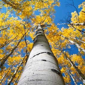 by Heather Diamond - Nature Up Close Trees & Bushes ( orange, mountains, tree, autumn, grass, foliage, fall, white, trees, yellow, tall, aspen, leaves, nature, abscission, folliage )