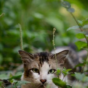 by Syafizul  Abdullah - Animals - Cats Playing