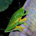 Spurrell´s Leaf Frog