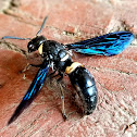 Four-toothed wasp