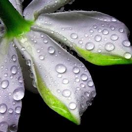 Drops on petal by Asif Bora - Nature Up Close Natural Waterdrops (  )