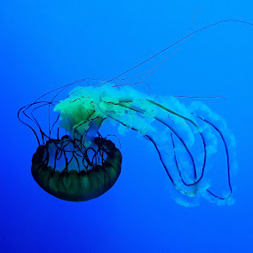 by Brian Lord - Animals Fish ( beautiful, blue, water, aquarium, jelly fish )