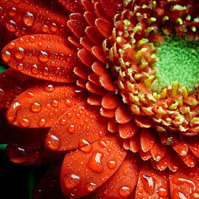 Dressed in Red by Daniela Maskova - Artistic Objects Other Objects ( macro, red, gerbera )