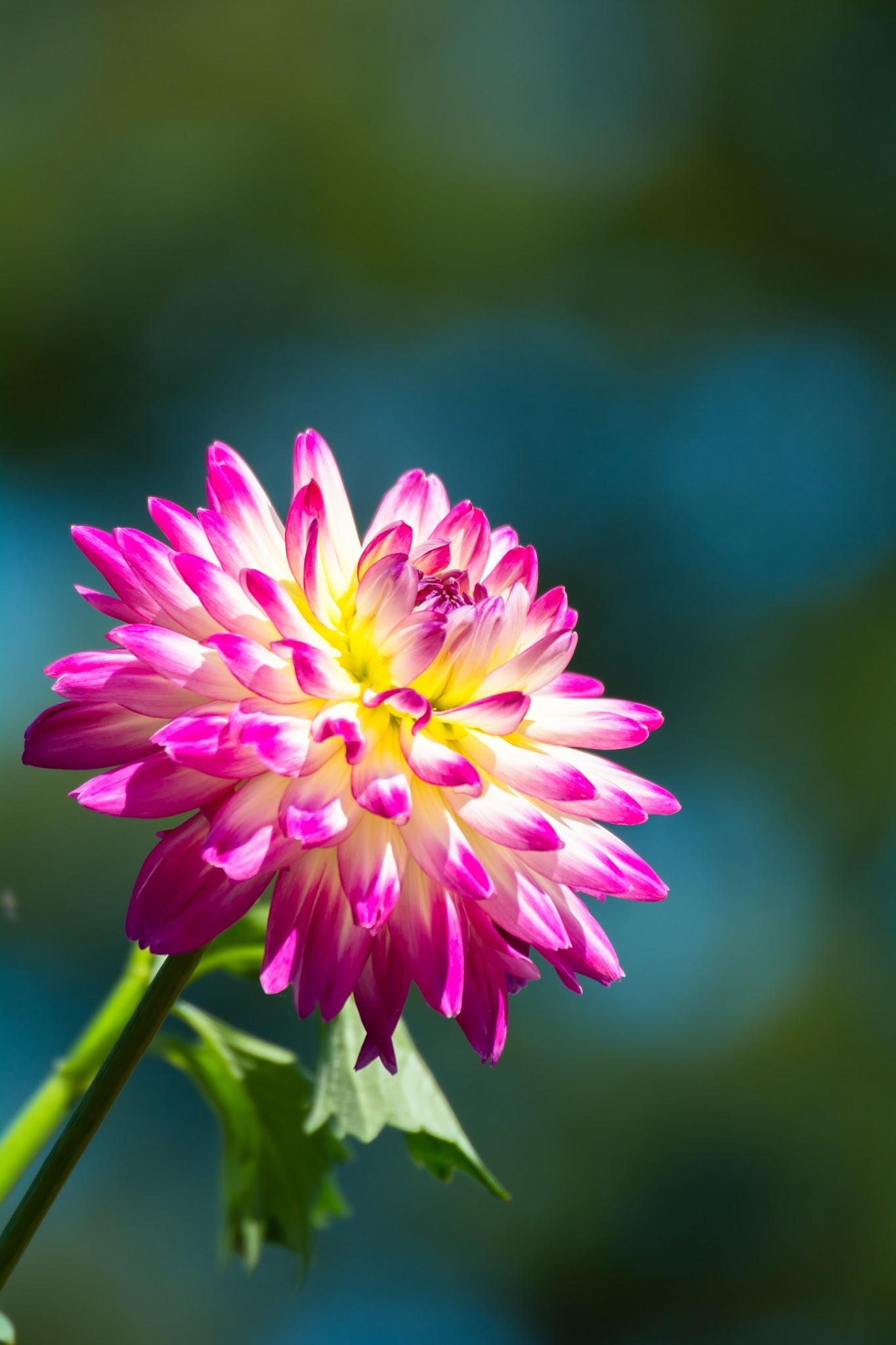 Photo: 華やかな輝きを浮かべ elegant shine.  赤や黄色やピンク 鮮やかな色で出迎えてくれたダリア 自ら光りを放つかのように きらきらと 華やかな輝きを浮かべ  Photo of dahlia. (神代植物公園のダリア) Nikon D7100 SIGMA APO 50-500mm F5-6.3 DG OS HSM #cooljapan #100tokyo #東京フォト #tokyophoto (5枚追加:Added 5 photo) 5枚目はおまけで神代植物公園の彼岸花です。
