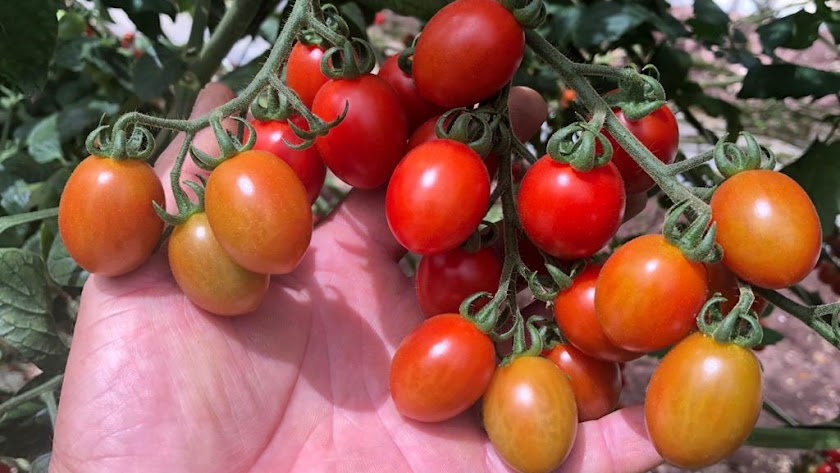 El nuevo híbrido es una variedad de tomate cherry que combina resistencia intermedia con un fuerte desempeño agronómico y de mercado.
