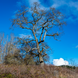 by Keith Sutherland - Nature Up Close Trees & Bushes ( blue sky, country, canada, rural, british columbia, garry oak )