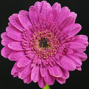 Up Close and Purple by Gillian James - Flowers Single Flower ( water drops, purple, daisy, gerbera, flower )