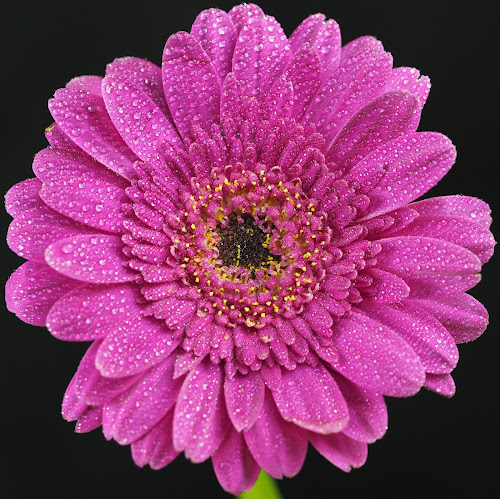 Up Close and Purple by Gillian James - Flowers Single Flower ( water drops, purple, daisy, gerbera, flower )