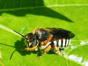 Photo: Megachile - Megachilidae genre anthidium sp. - fait sa toilette sur une feuille - Les minuscules boules blanches doivent être un pollen... Avec un reflet dans l'oeil !