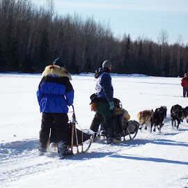 They're off by Tracy Nicholas - Animals - Dogs Running ( dog race, snow, dogs, iditarod, sport )
