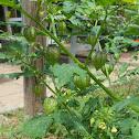 Cut-leaf Ground Cherry or Lantern Weed